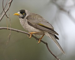 Noisy Miner - Photo (c) Lip Kee Yap, some rights reserved (CC BY-SA)