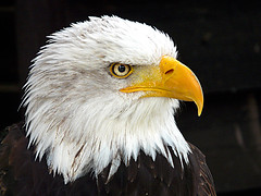 Bald Eagle - Photo (c) Doris, some rights reserved (CC BY-NC-SA)