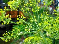 flower, plant, mustard, subshrub, herb, anthriscus, flora,