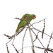 Small photo of White-fronted Parrot (Amazona albifrons)
