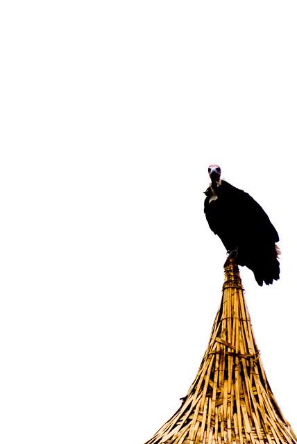 Vulture at Aregash Lodge
