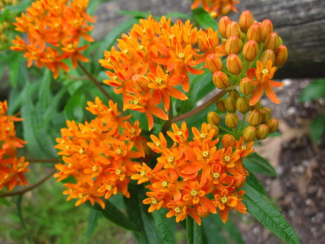 Butterfly-weed (Asclepias tuberosa) in bloom in the Native Flora Garden. Photo by Rebecca Bullene.