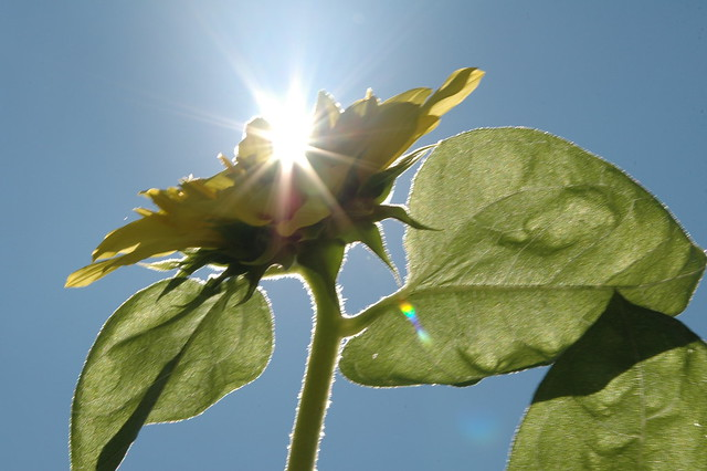 Sunflower 060