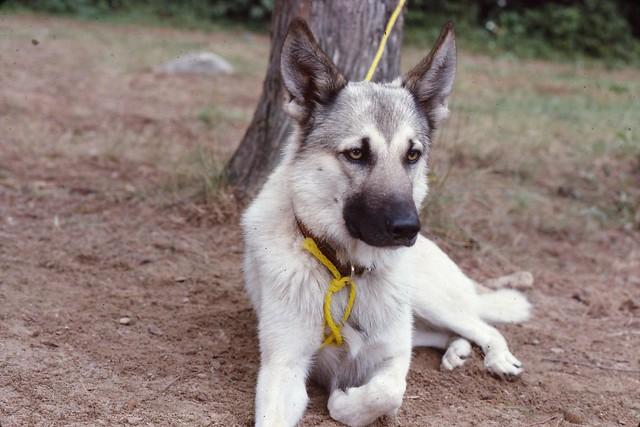 White wolf shepherd - photo#4
