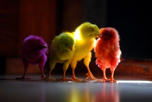 MULTI COLORED CHICKS