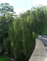 Willow near the Archbishop's Palace