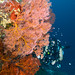 Sea Fan & Diver - Bunaken