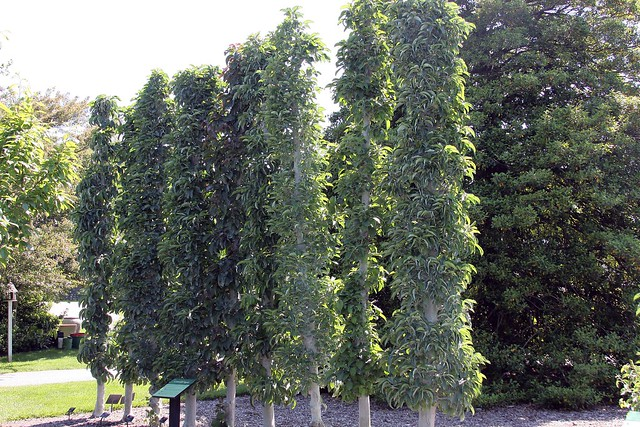 Columnar trees a gallery on flickr for Columnar evergreen trees for small gardens