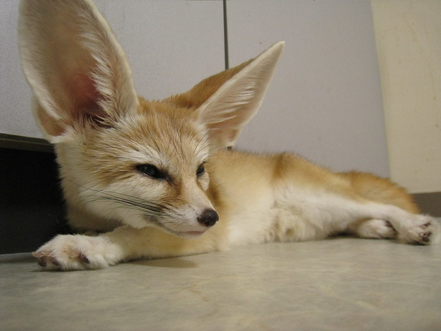 how to get a fennec fox as a pet