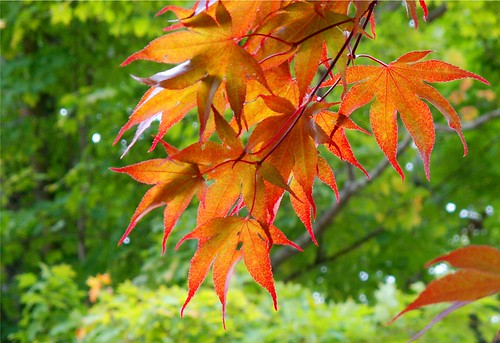 Maple Autumn