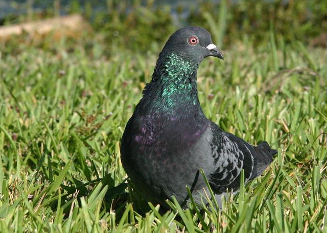 Rock Pigeon 20081017