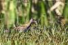 Baillon's Crake Porzana pusilla Australia Bird