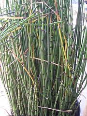 Equisetum hyemale plant PA220024
