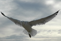 Sea Gull 021
