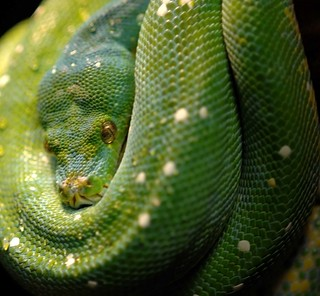 GREEN TREE PYTHON-Explored Dec. 25