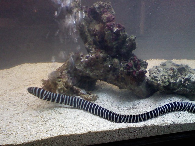 Just introduced my zebra moray eel into new 250 gallon for Eel fish tank