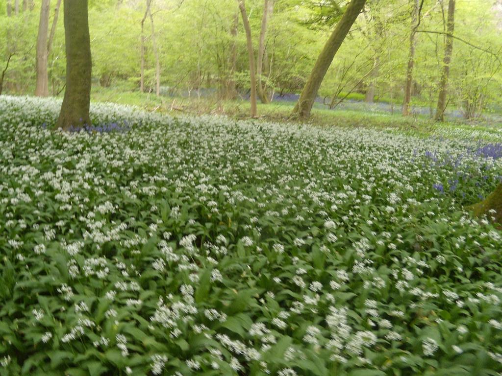 Wild garlic, bluebells beyond Goring Circular (via Moulsford