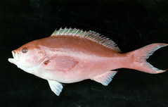 deep sea fish(0.0), cod(0.0), common rudd(0.0), tilefish(0.0), animal(1.0), fish(1.0), fish(1.0), marine biology(1.0), red snapper(1.0), red seabream(1.0),