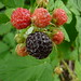Black Raspberries by jpwbee