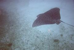 macro photography(0.0), animal(1.0), fish(1.0), marine biology(1.0), skate(1.0), underwater(1.0),