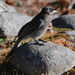 Small photo of Juvenile Gray Jay at Longmire