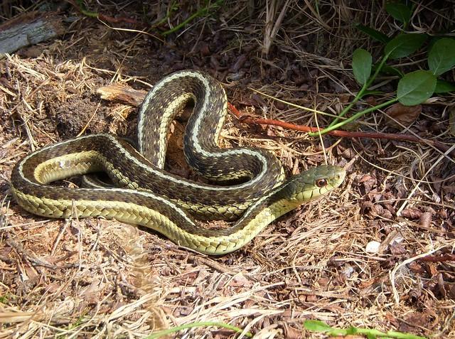 Eastern Garter Snake   Flickr - Photo Sharing!