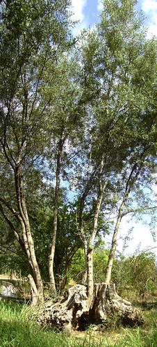 tree greek olive greece stump hellenic aigio achaia peleonnese mondodendri
