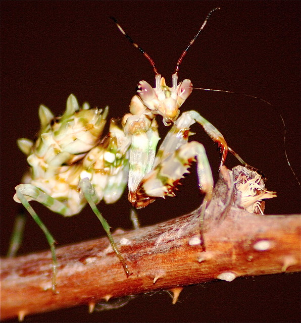 African spiny flower mantis | Flickr - Photo Sharing!