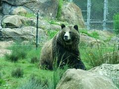 animal, american black bear, zoo, mammal, grizzly bear, fauna, brown bear, bear,