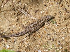 smooth newt(0.0), newt(0.0), salamander(0.0), lissotriton(0.0), animal(1.0), amphibian(1.0), reptile(1.0), lizard(1.0), fauna(1.0), lacerta(1.0), lacertidae(1.0), scaled reptile(1.0), wildlife(1.0),