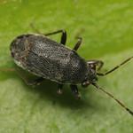 rövidszárnyú kisbodobács - Stygnocoris rusticus