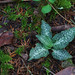 Western Rattlesnake Plantain - Photo (c) Eric in SF, some rights reserved (CC BY-NC-ND)