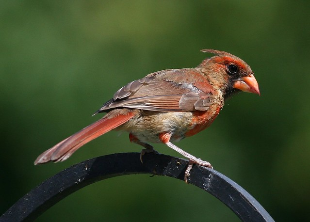 male Cardinal, immature