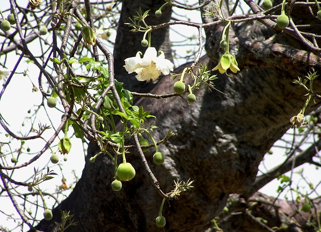 Baobab Tree Flowers http://www.flickr.com/photos/sandlings/3129577211/