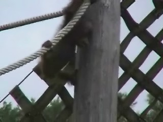Orang Utans Video 2