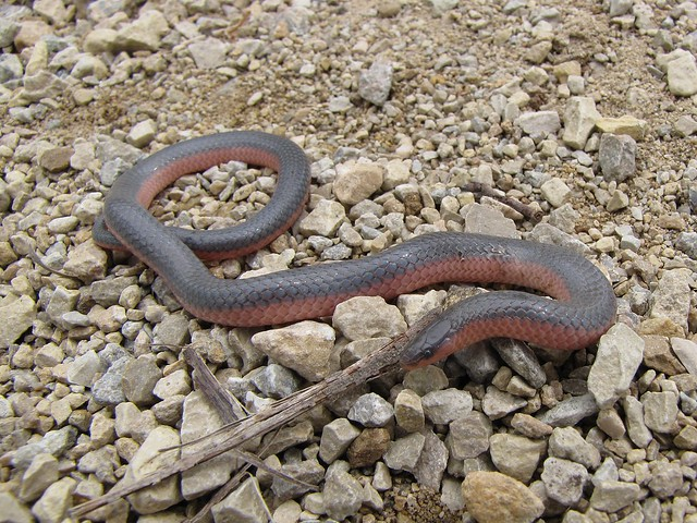 Western Worm Snake  Carphophis vermis Western Worm Snake