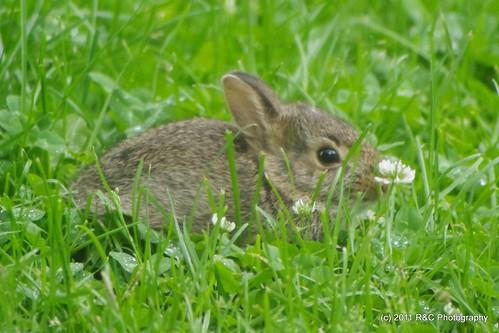 bunny cottontail rabbt