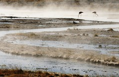 Flamignos en Aguas Calientes, Uyuni, Bolivia