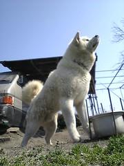 akita inu(0.0), czechoslovakian wolfdog(0.0), norwegian elkhound(0.0), wolfdog(0.0), saarloos wolfdog(0.0), alaskan malamute(0.0), animal(1.0), canis lupus tundrarum(1.0), west siberian laika(1.0), akita(1.0), dog(1.0), hokkaido(1.0), siberian husky(1.0), pet(1.0), white shepherd(1.0), east siberian laika(1.0), berger blanc suisse(1.0), greenland dog(1.0), kishu(1.0), carnivoran(1.0), samoyed(1.0),