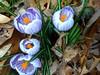 spring flowers 3-20-08