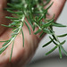 handful of rosemary