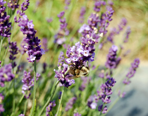 Lavender Bee Series VI