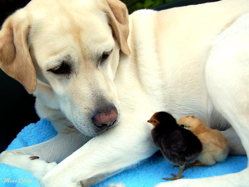 Puppy chickens.