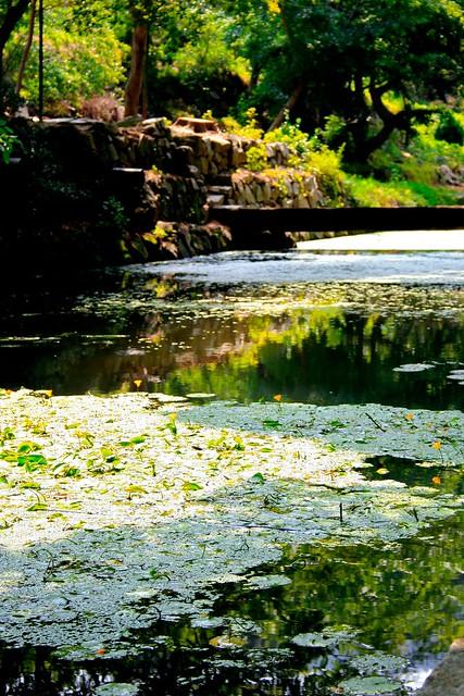 Duckweed pond flickr photo sharing for Garden pool duckweed