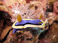 animal, marine biology, invertebrate, macro photography, fauna, sea slug, underwater, reef, wildlife,
