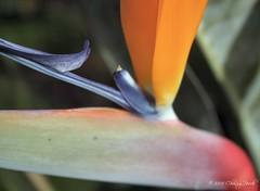 Bird of Paradise ~ Up Close