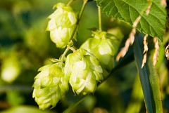 Hops for making beer