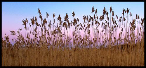 reeds evening fantastic dusk massachusetts northshore rockport canona630 flickrlovers
