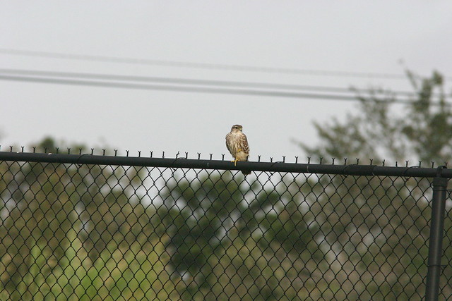 Falcon On Fence 20081211