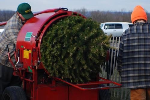 工作人員將聖誕樹打包。(圖片來源:Joe)